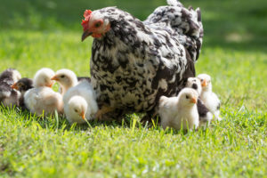 Chick Day at Farmers Coop Fayetteville