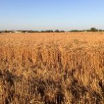 wheat grower test plot