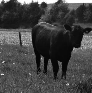 horn flies on cattle