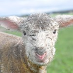 """Lambs."" Image by Claire Cumming. 2012 Runner-up - 'Images of Farm Life' - Primary Category"