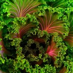 Decorative kale is shown in this file photo.
