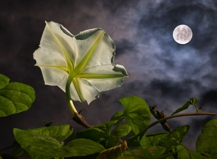 Tropical white morning-glory - Flowering plant