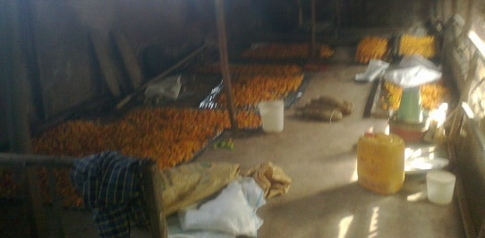 Yellow Pepper Harvest