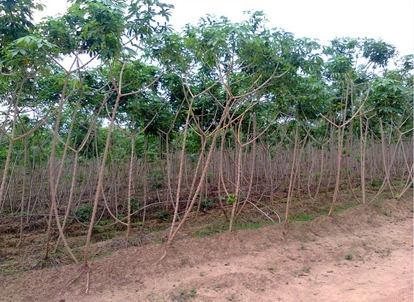 A cassava farm with few weeds. These weeds will not have significant effect on yield.
