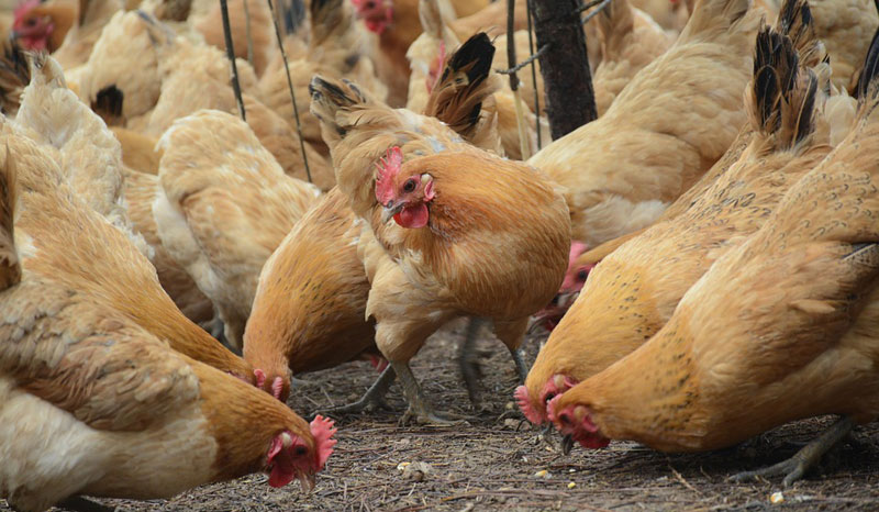 Zimbabwe reports H5N8 bird flu at poultry farm
