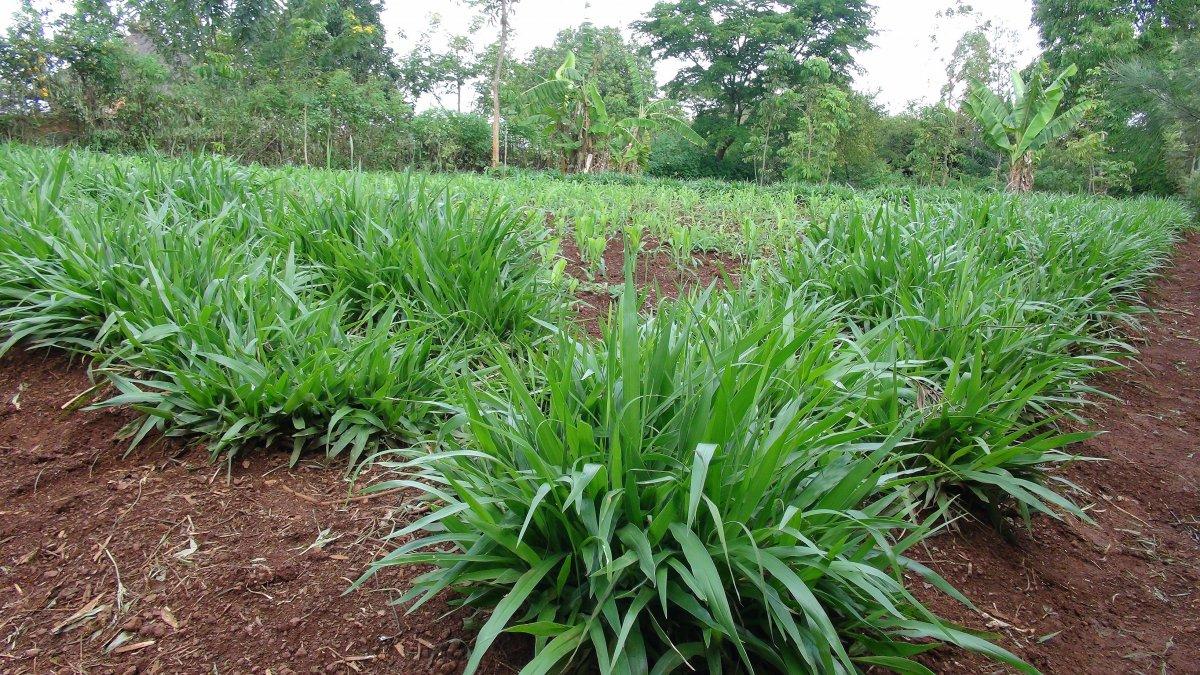 Fodder farming provides lifeline to drought stricken Kenya