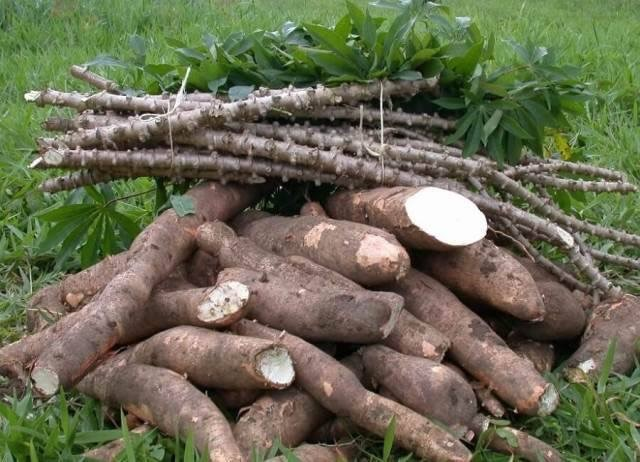 Cassava: Key to Industrialization