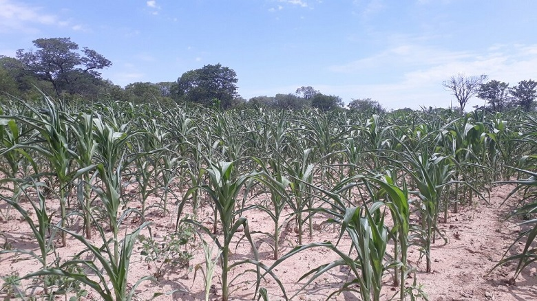 Dry spell worry Zimbabwe farmers