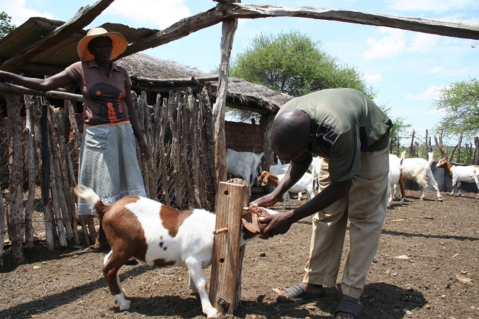 Goat breeding gain momentum among Zimbabwe's farmers