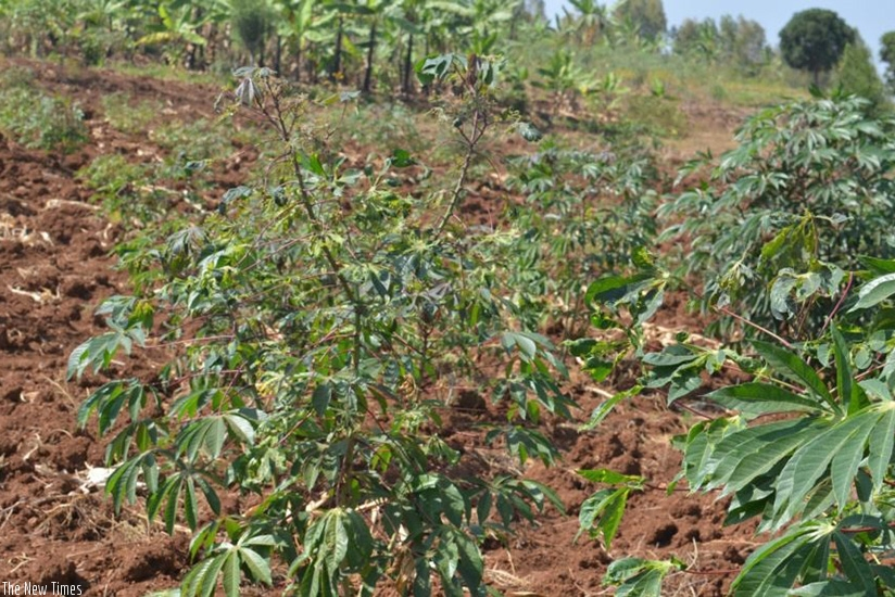 Cassava brown streak virus slashes Rwandan export earnings