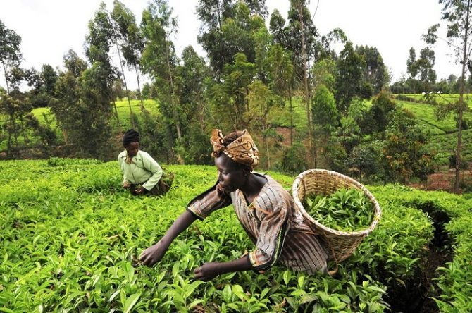 Aflatoxins stand-off cuts Kenyan tea exports to Pakistan by half