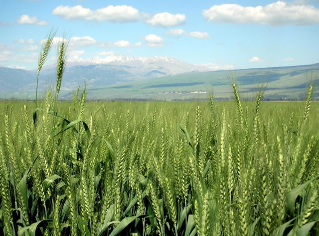 Wheat farmers gear up for winter cropping