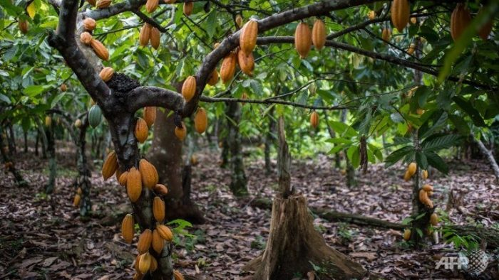 WhiteCap Cocoa Holdings Announces the Development of the World's Second Largest Cocoa Farm in Ghana