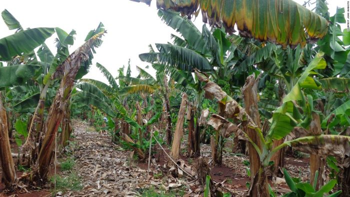 Fusarium wilt hits top banana producers in Mozambique