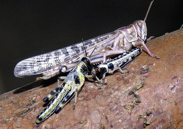 Desert locust threat remains calm across Africa, says UN-FAO