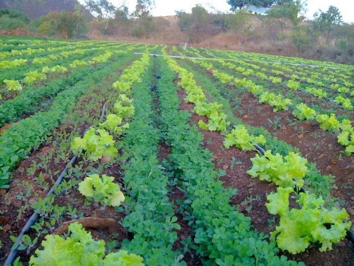 Intercropping as a sustainable farming method