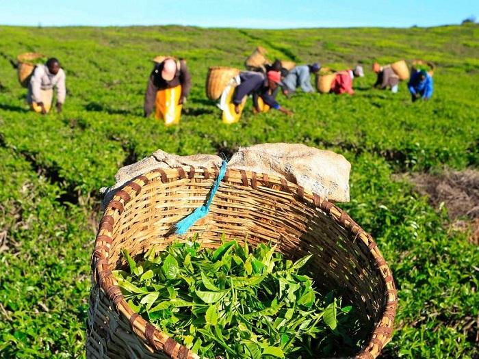 Kenyan tea earnings hit approximately US $850m