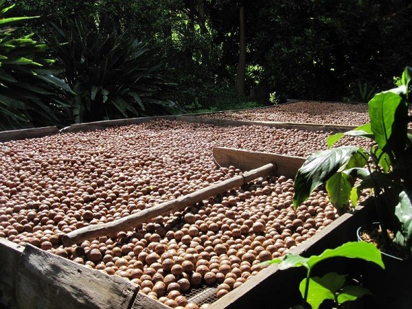 Fire-detection, suppression for macadamia-nut processing factory