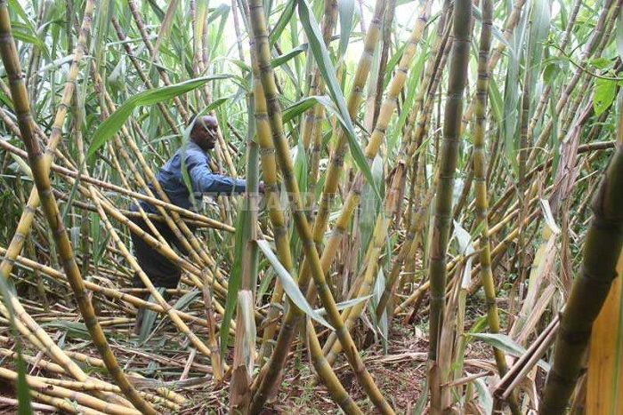 Kenya sugarcane farmers to be paid US $25m from outstanding debts