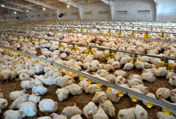 The effect of heat stress on broiler performance and strategies to reduce this effect