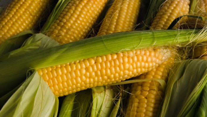 Kenyans anticipate Cabinet's decision over lifting ban on GMOs