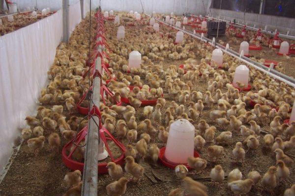 Novatek Feed Schedule For Broiler Chicken