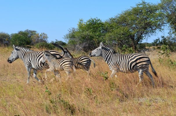 Zebras offer leads to control tsetse flies