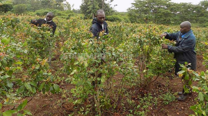 Kenyan small scale farmers increasingly move from growing food crops to herbal stimulant
