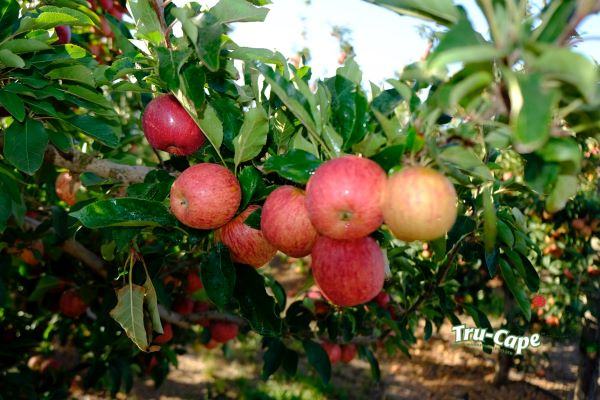 Fruit industry leaders demand uninterrupted power during critical picking season