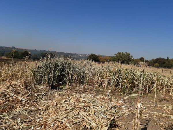 Despite lower Mpumalanga yields overall harvest outlook still impressive