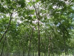 Is Sandalwood the next big thing for tree farmers?