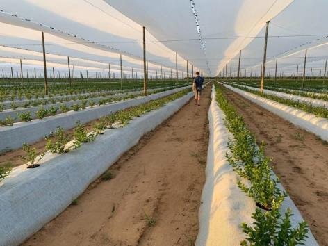 Smart irrigation design proves pivotal in Namibia's first successful blueberry harvest