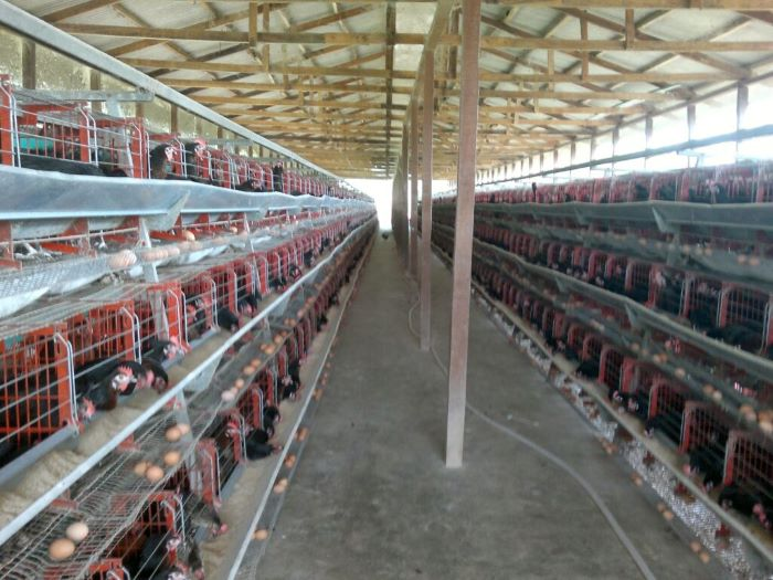 Battery cage rearing system in poultry farming: a necessary evil?