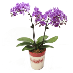 Purple Phalaenopsis Multiple Pot