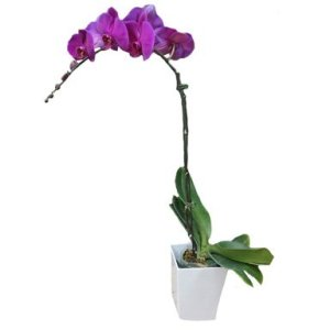 Purple Phalaenopsis Potted Orchid by FARM Florist Singapore