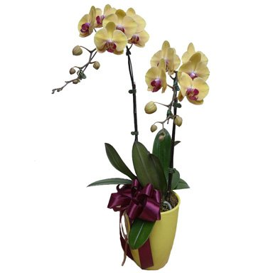 Yellow Orchid Phalaenopsis in yellow pot by FARM Florist Singapore