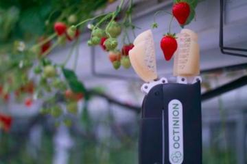 Robô colhedor de morango