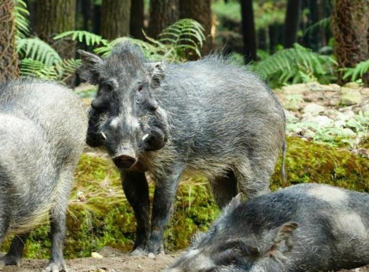 O porco mais feio do mundo