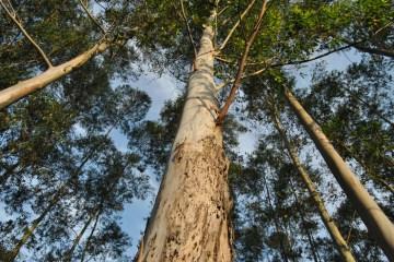 plantar eucalipto