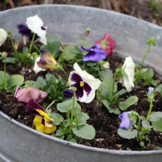 Happy Little Pansies…