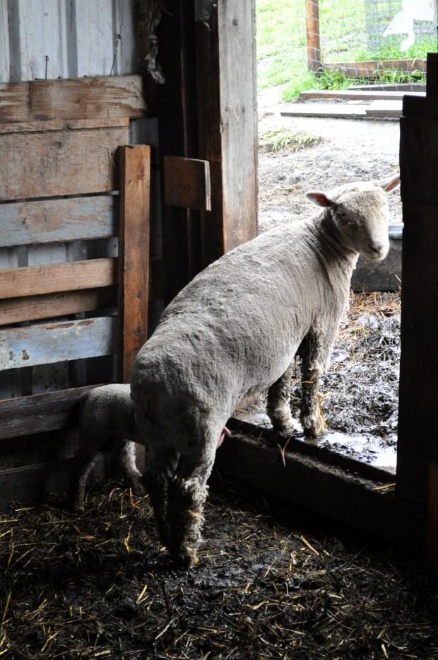 Quillisascut Farm - Intro to Farming Day 2 via farmgirlgourmet.com