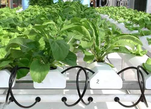 Benefits of hydroponics