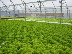 large scale hydroponics growing