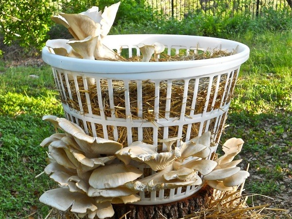 Easy Steps On How To Grow Mushrooms Using Best Kits
