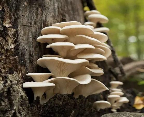 mushroom plugs for sale