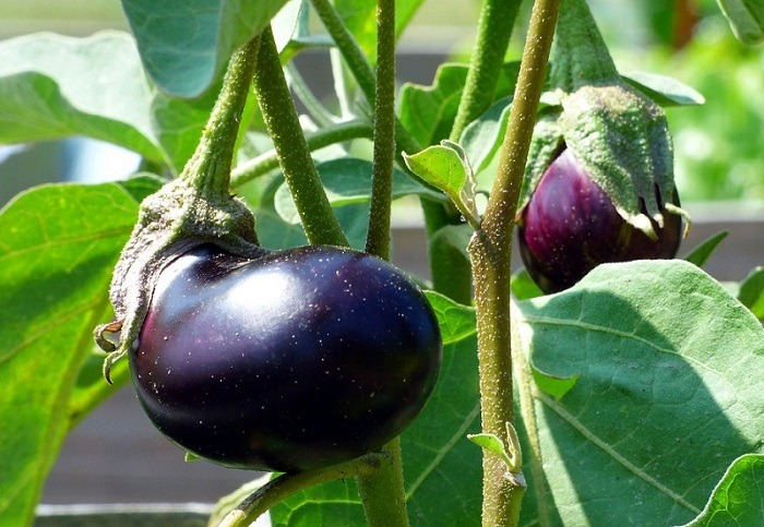Best White Eggplant Varieties For Your Garden