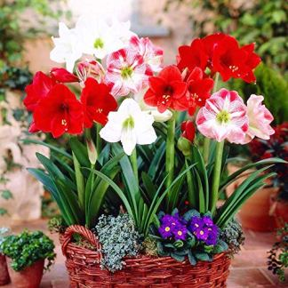 Kraft Seeds Amaryllis Lily Flower Sow and Grow Fresh Healthy Bulbs in Your Garden (Set of 3) (Pack of 1)