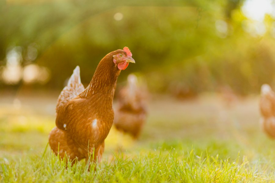 Eggs are collected from a collection of six farms where the hens are free to forage amongst fruit trees and wildflowers