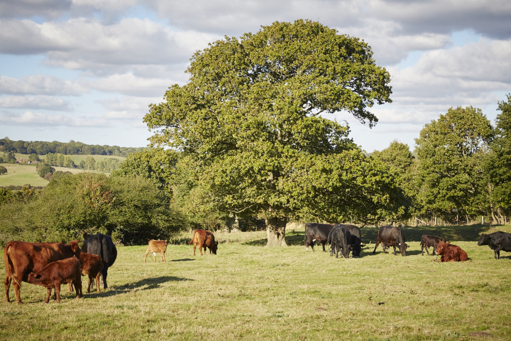 Sussex cattle on location at Lidham Hill Farm