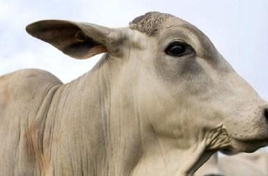 número de bovinos confinados